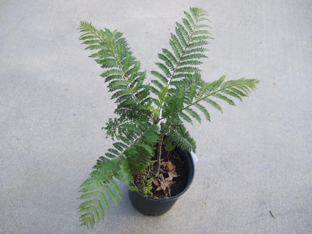 ジャカランダ鉢植え