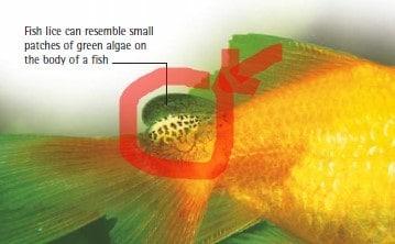 fice lice koi fish diseases