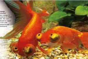 types of goldfish celestial eye goldfish