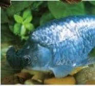 types of goldfish Blue Pom-pom