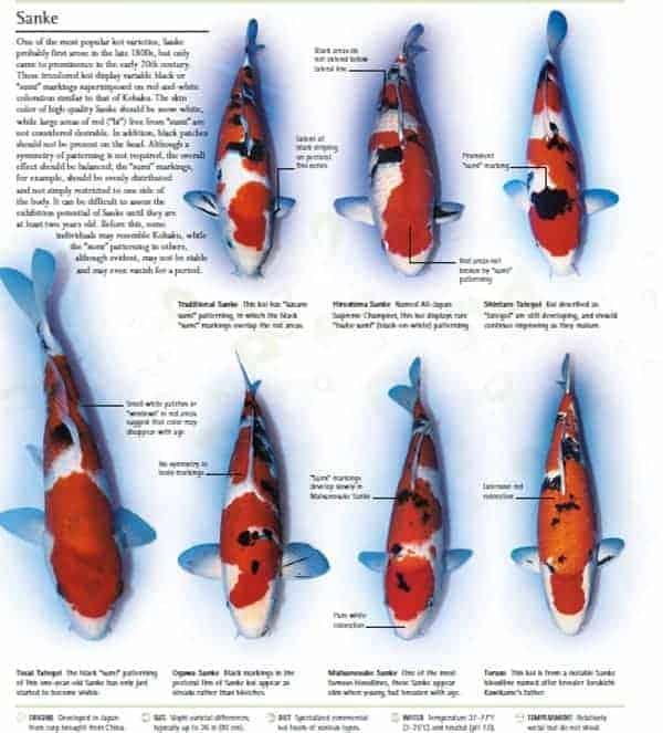 kio fish pictures sanke