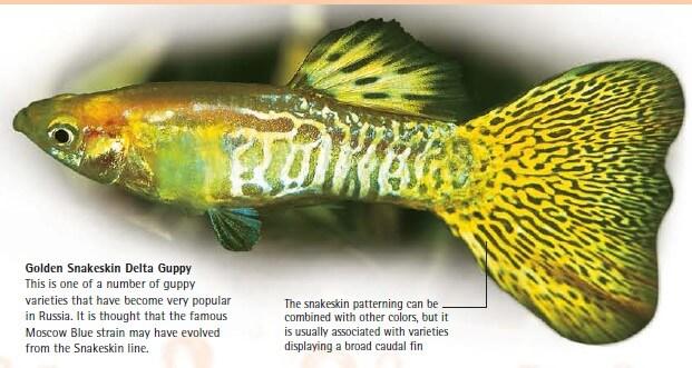 golden snakeskin delta guppy