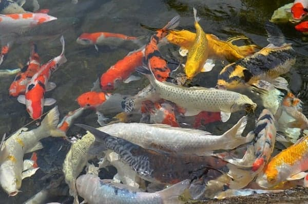 koi fish varieties