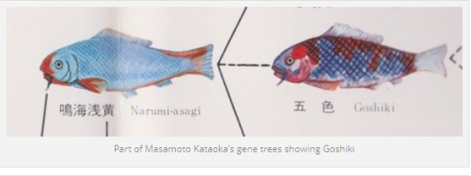 goshiki koi genealogy 1