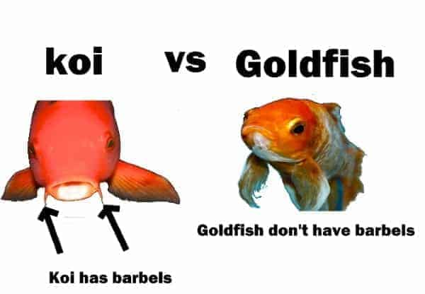 difference between goldfish and koi fish