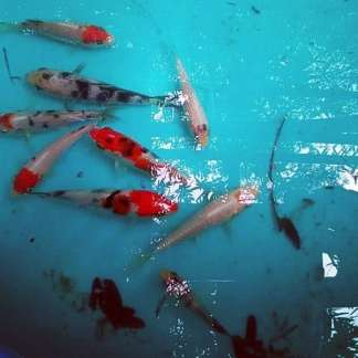 Koi Packages