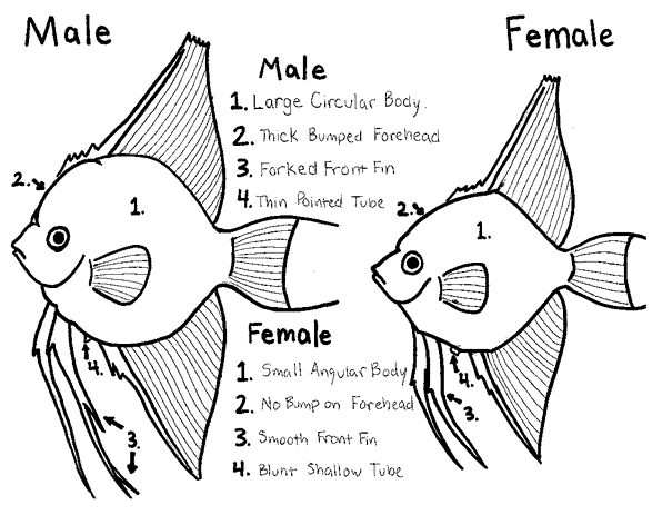 how to tell if a fish is male or female sexing angel fish