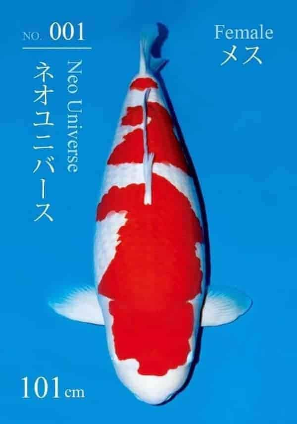 most expensive koi fish