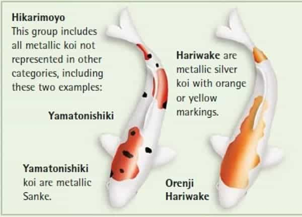 koi fish color meaning chart Hikarimoyo