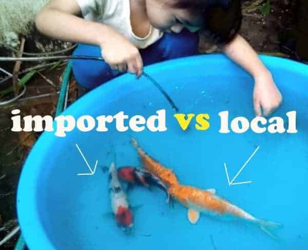 japanese koi vs local koi