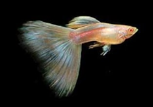 Albino Blue Moscow types of guppies