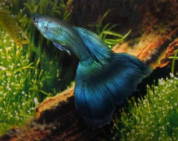 Blue Moscow guppy types of guppy