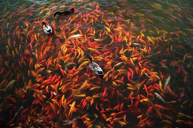 preventing koi fish overpopulation