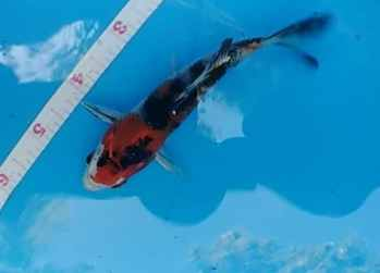 5 inch kin showa koi fish for sale
