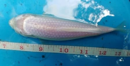 pearl scale koi fish for sale