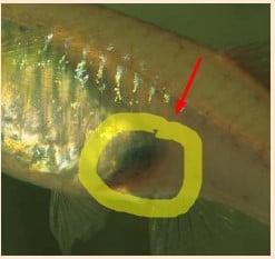 female guppy fish gravid spot