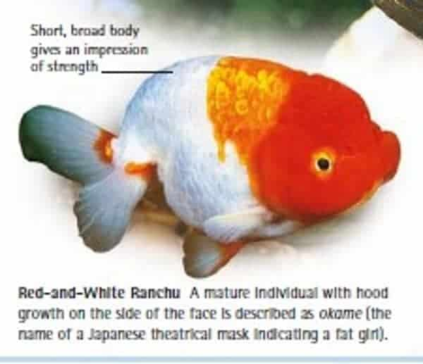 red white ranchu goldfish