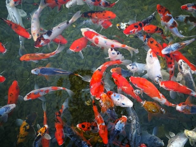 is there a market for koi