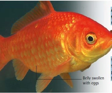 gravid female goldfish
