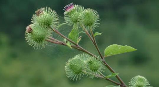 Ένα από τα 10 ισχυρότερα βότανα στον κόσμο και οι θεραπευτικές του ιδιότητες