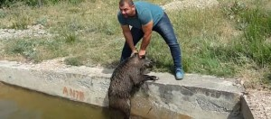 Read more about the article Βίντεο: Σώζει από πνιγμό ένα κοπάδι από αγριογούρουνα με τα χέρια του