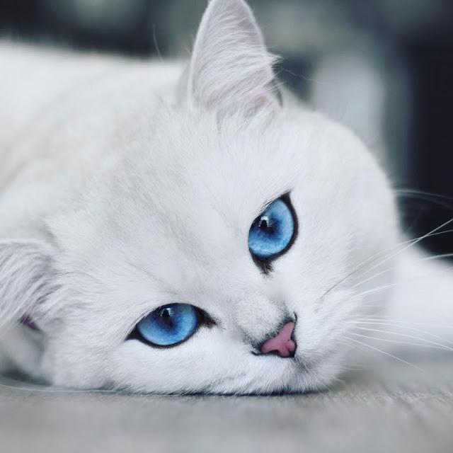 Μια γάτα με εντυπωσιακά μπλε μάτια!