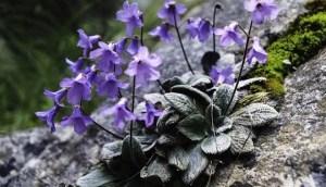 Στον Όλυμπο Φυτρώνει Ένα Λουλούδι Που Δεν Υπάρχει Πουθενά Αλλού Στον Κόσμο