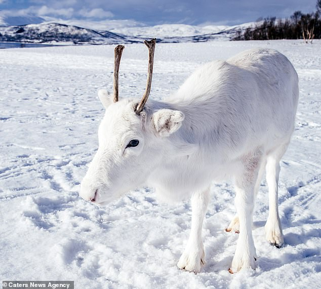 Read more about the article Σπάνιος λευκός τάρανδος εντοπίστηκε στην Νορβηγία και είναι πραγματικά αξιολάτρευτος