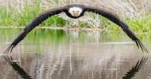 Φωτογράφος απαθανατίζει την τέλεια συμμετρική φωτογραφία αετού που πετάει πάνω από λίμνη (Photos/Video)