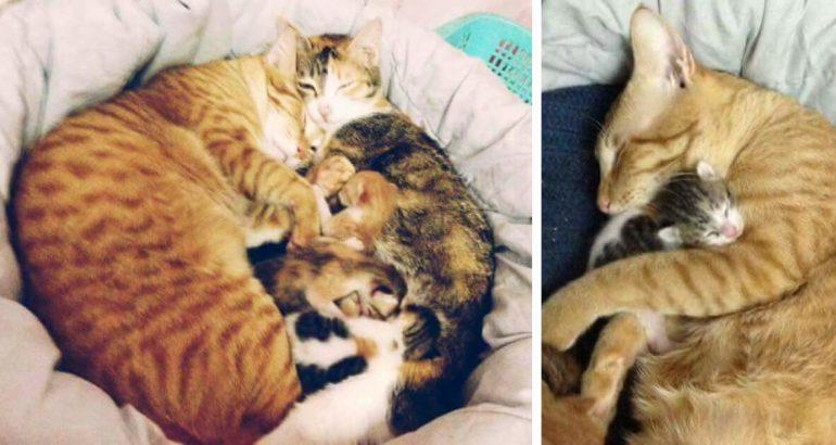 Μπαμπάς γάτος βοηθά τη μαμά γάτα
