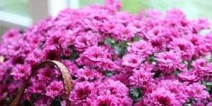 Φυσικά εντομοαπωθητικά 7 φυτά που διώχνουν τα κουνούπια