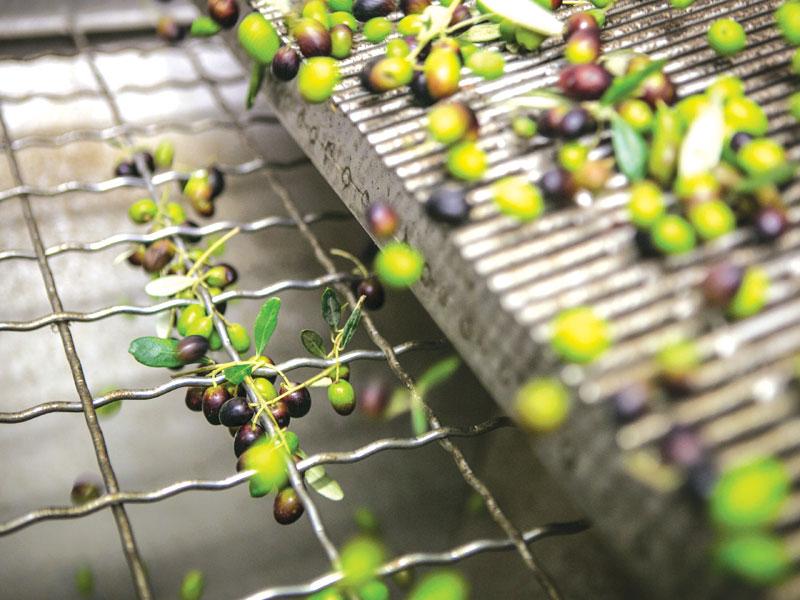 La raccolta delle olive. Idee per una gita tra raccolta, lab e degustazioni