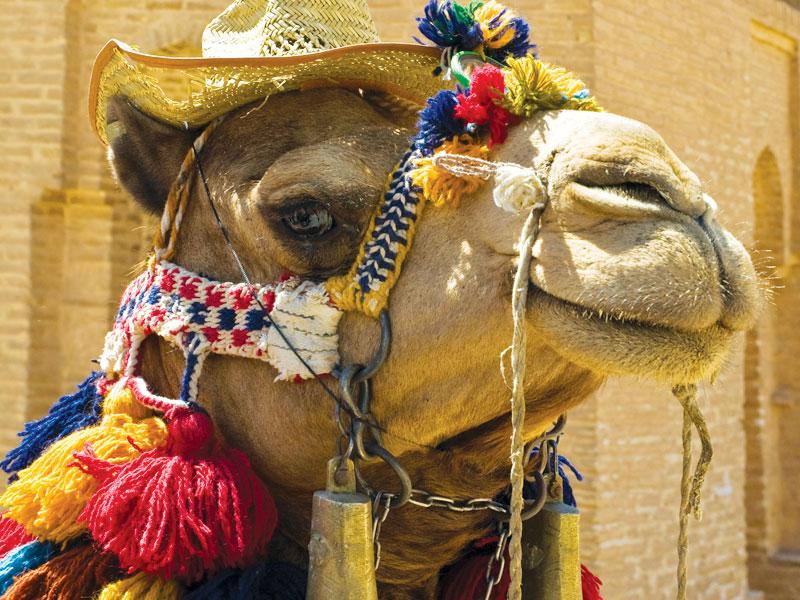 Iran cammelli