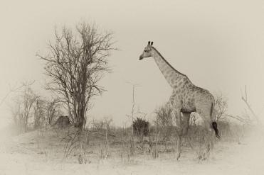 Vintage Giraffe in Chobe Nationalpark, Botswana.