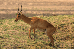 Red Lechwe or Puku