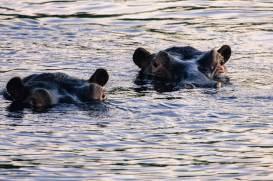 Tauchende Nilpferde im Sambesi