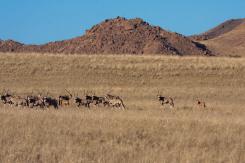 Oryx-Herde mit Nachwuchs, Namibia