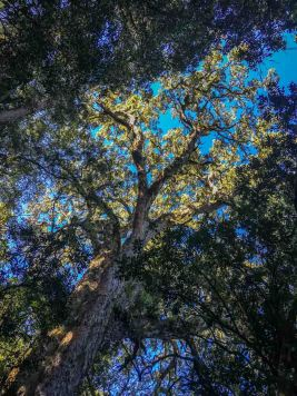 Big Tree in Hogsback: 800 Jahre alter Yellow Wood