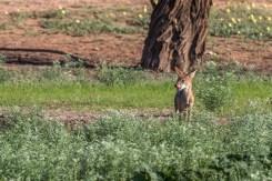 Junger Schakal, Kgalagadi