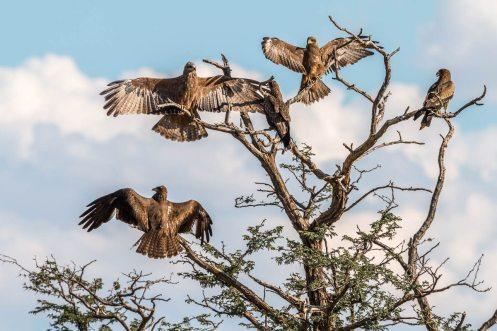 Raubvögel in Nossob, Kgalagadi