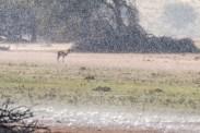 Springbock im Regen, Kgalagadi