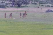 Geparden auf der Jagd, Kgalagadi