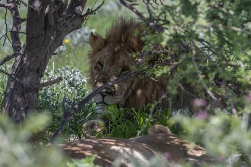Löwenmännchen in Etosha