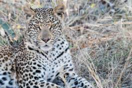 Leopard kurz vor dem South Gate des Moremi Nationalparks