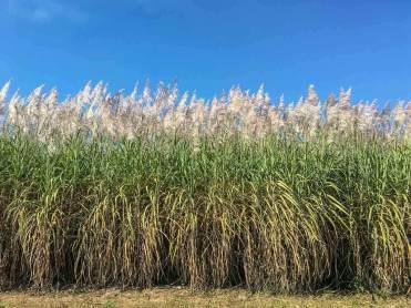 Die Blüten der Zuckerrohrpflanze