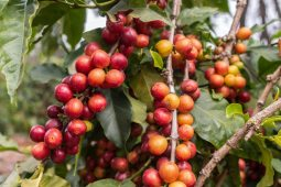 Kaffeeanbau in Tansania