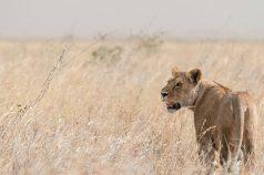 Löwin auf der Jagd in der Serengeti