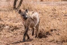Tüpfelhyäne in der Serengeti
