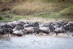 Great Migration: Gnus überqueren den Mara River
