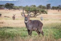 Wasserbock in der Serengeti
